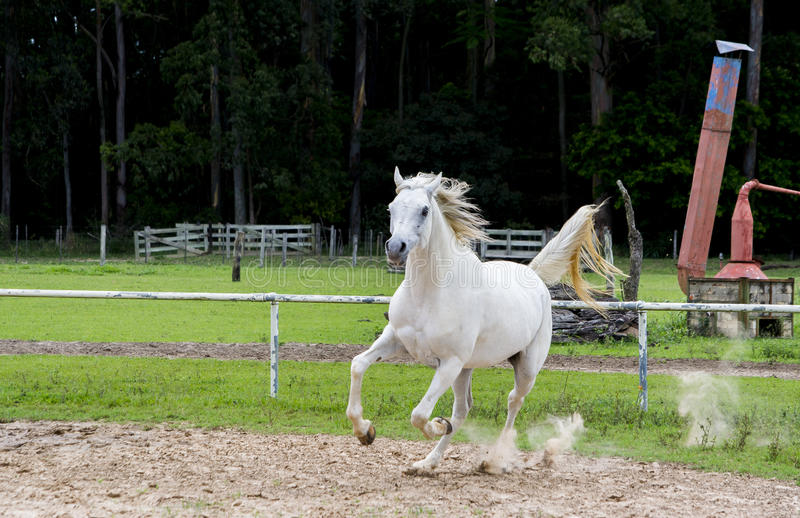 White wild Horse. Adult white arabian horse running royalty free stock photo