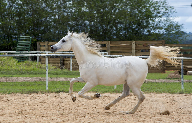 White wild Horse. Adult white arabian horse running royalty free stock image