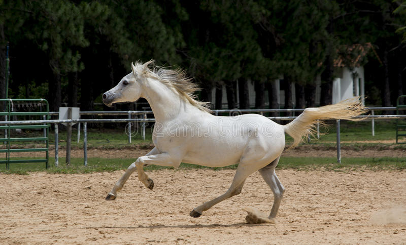 White wild Horse. Adult white arabian horse running royalty free stock photos