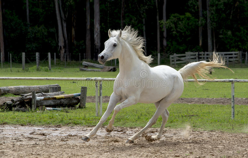 White wild Horse. Adult white arabian horse running stock images