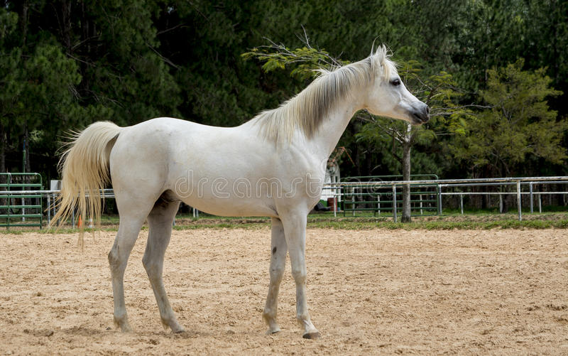 White wild Horse watching. Adult white arabian horse running watching stock image