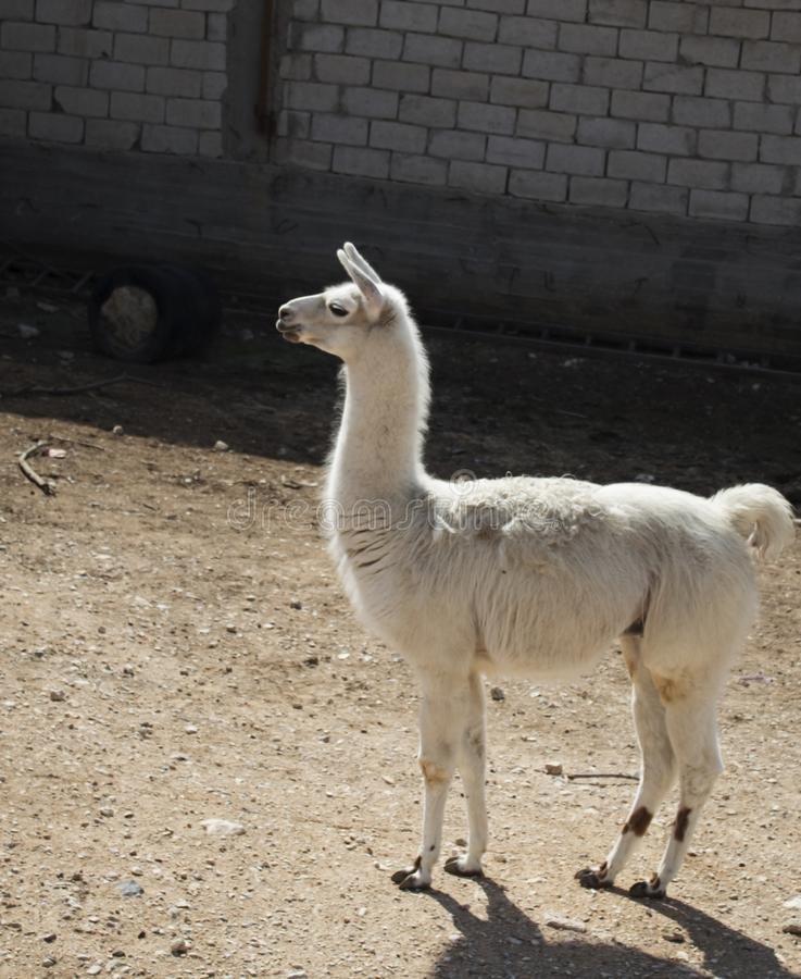 White wild llama in zoo. Nature animals and pets. White wild  llama zoo nature animals pets royalty free stock photography
