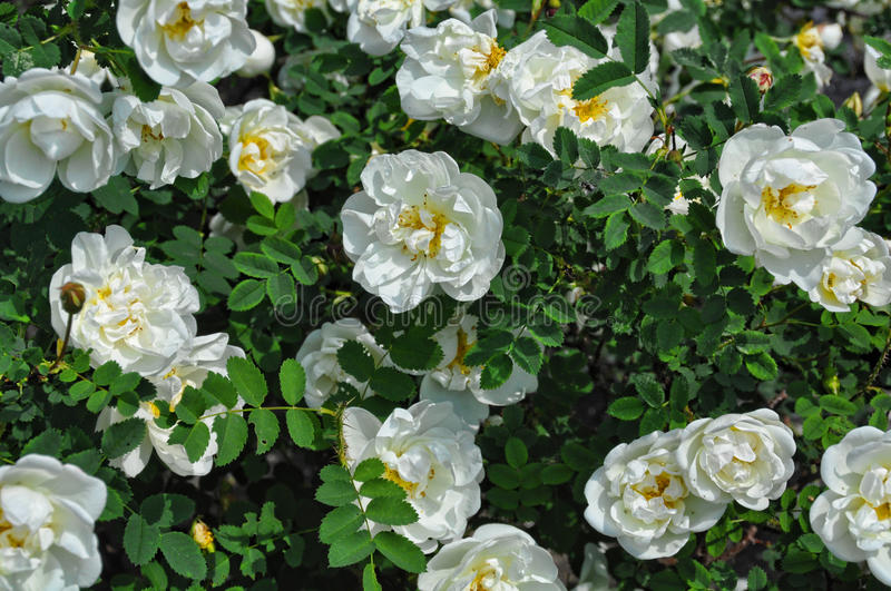 White wild rose bush. Close-up of a white rose plant in garden stock images