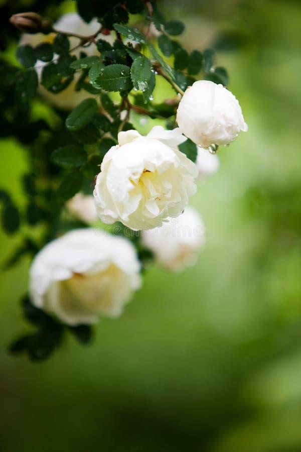 White Wild Roses Stock Image