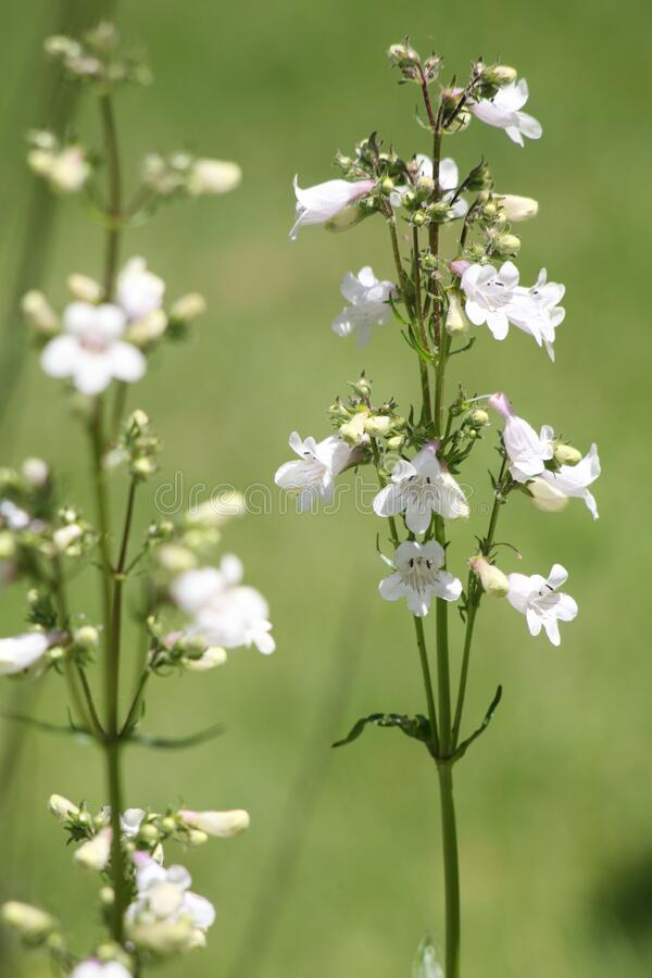 White wildflowers stock photography