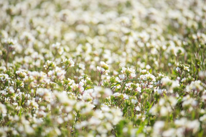 White Wildflowers Field on Sunset. On Spring in the Garden stock image