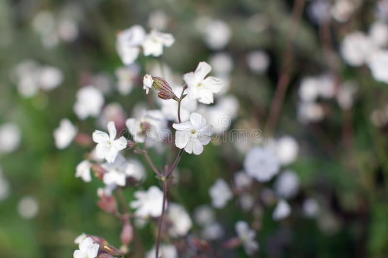 White wildflowers in the green grass royalty free stock image