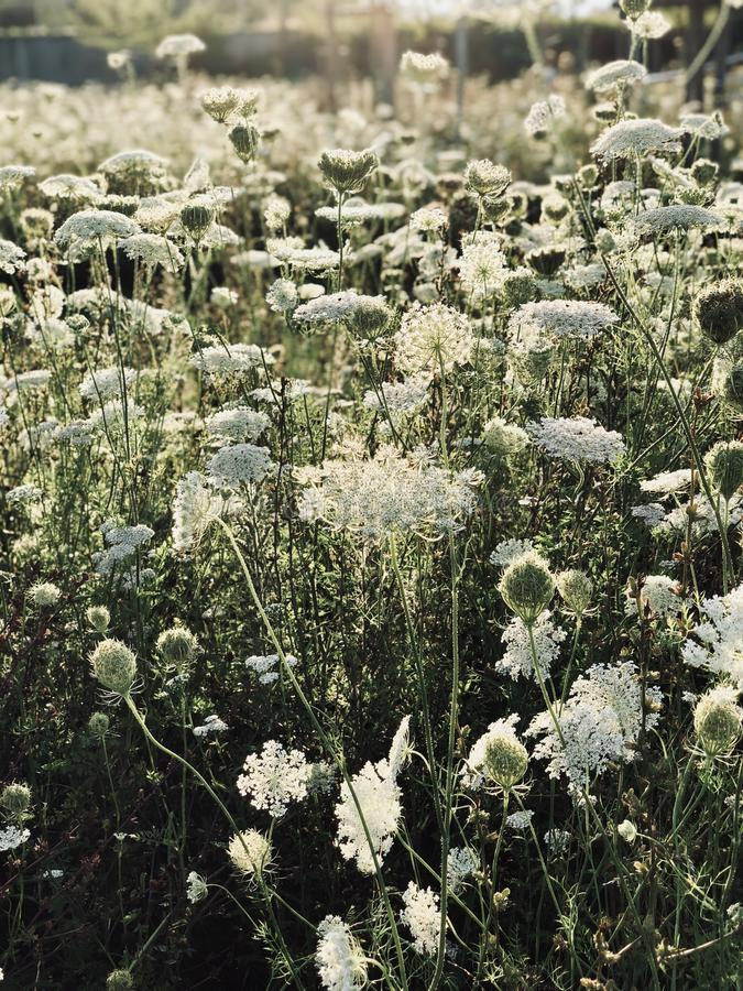 White wildflowers in the meadow. Outdoor royalty free stock photography