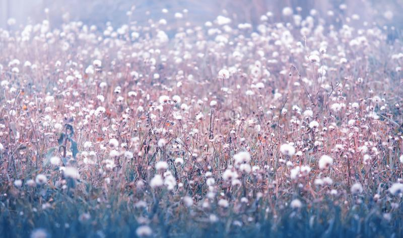 White wildflowers at sunrise, natural autumn background in blue tones, fall nature landscape stock photography
