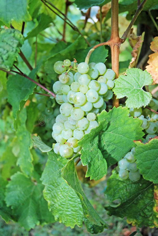 White wine grapes on a wine rank. In the German region of Moselle, Europe stock photo
