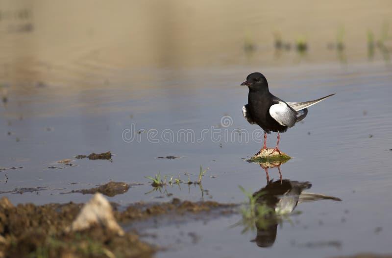 White-winged Black Tern (Chlidonias leucopterus) stock images