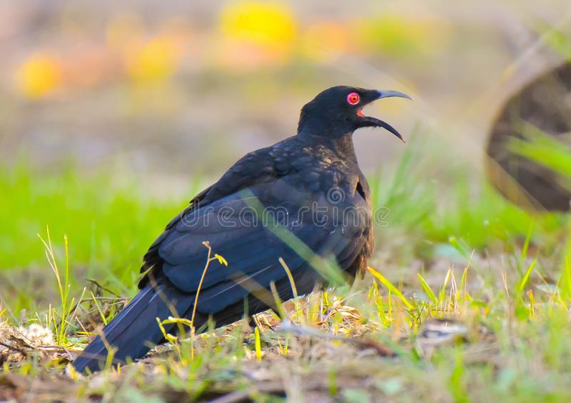 White-winged chough displays stock photos