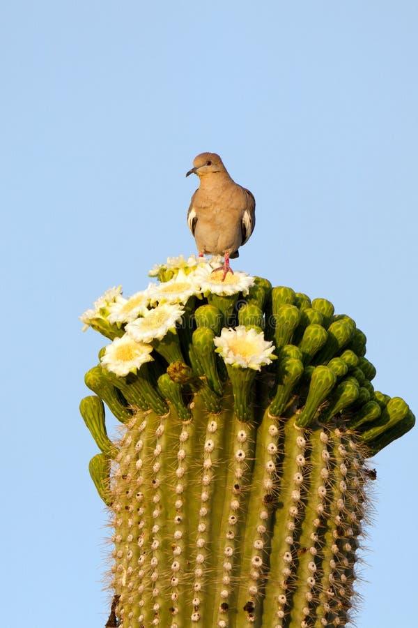 White-winged Dove, Zenaida asiatica. White-winged Dove atop a flowering Giant Saguaro cactus in Arizona's Sonoran Desert royalty free stock image