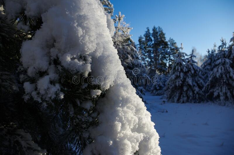 White winter. Snowy forest, lots of snow with sunny days. Blue sky stock photo