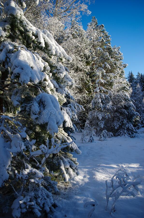 White winter. Snowy forest, lots of snow with sunny days. Blue sky royalty free stock photo