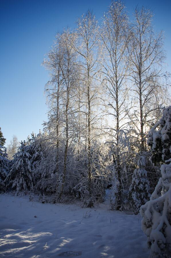 White winter. Snowy forest, lots of snow with sunny days. Blue sky stock images