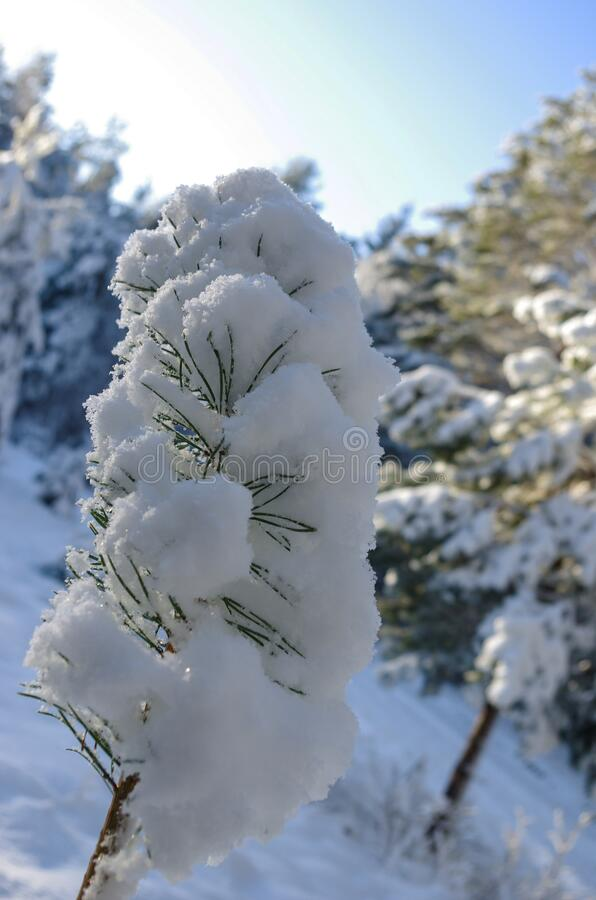 White winter. Snowy forest, lots of snow with sunny days, pine tree. White winter. Snowy forest, lots of snow with sunny days, blue sky, Pine tree royalty free stock photography