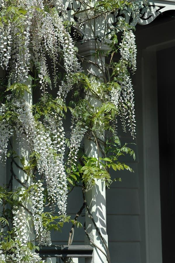 Download White Wistera Vine stock photo. Image of flower, vine - 1301078