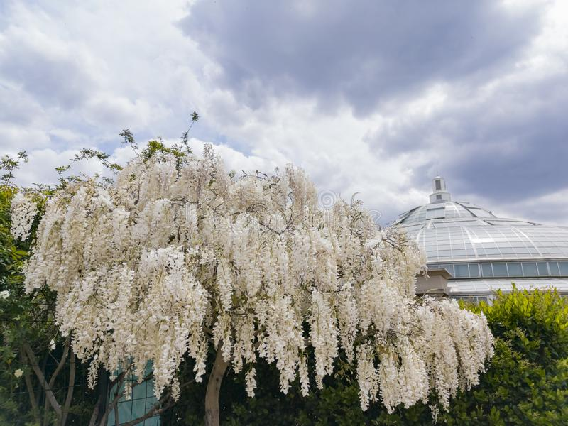 White Wisteria blossom in Huntington Library. At Los Angeles, California royalty free stock photo