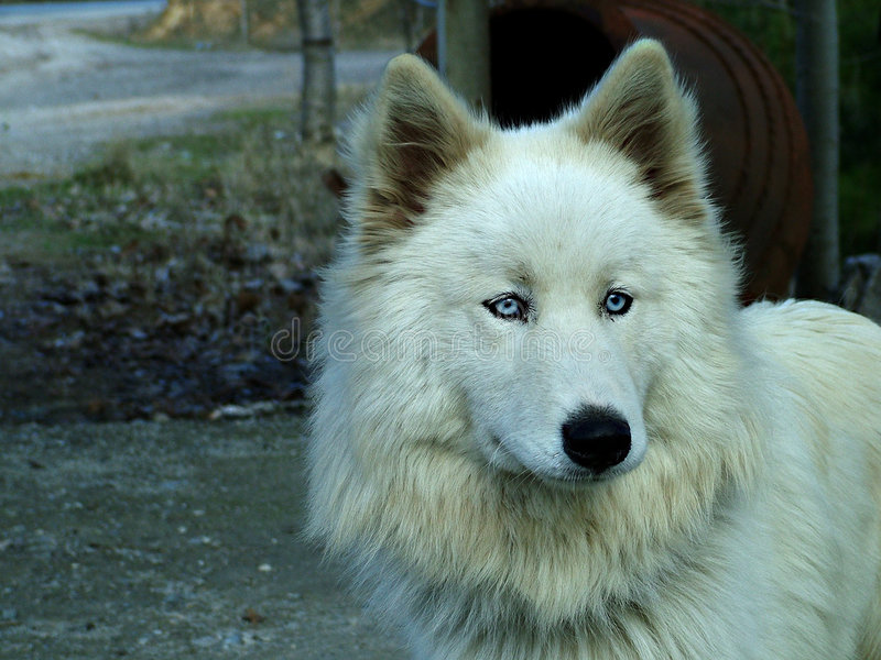 Download White Wolf stock photo. Image of wolf, love, dogs, blues - 105810