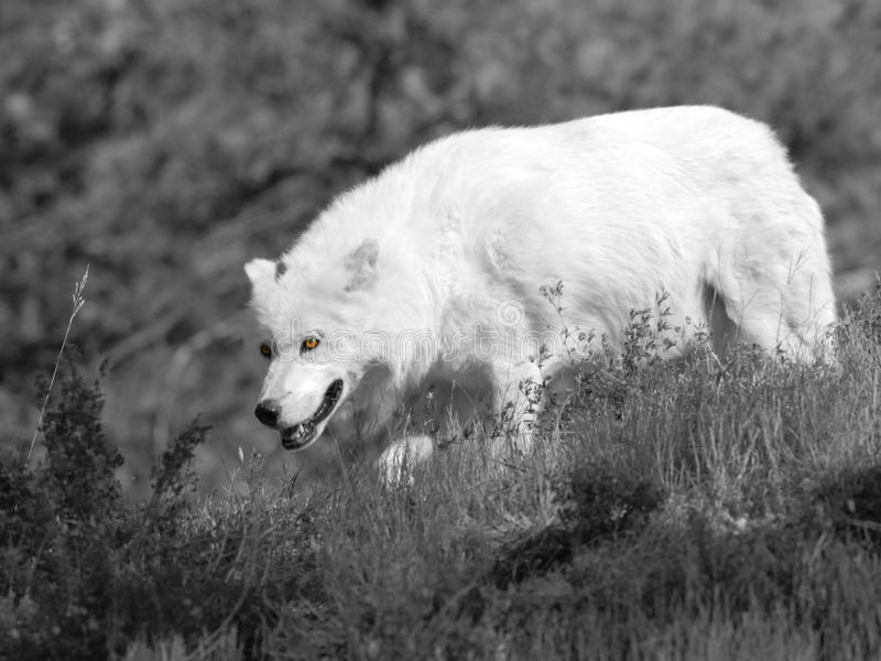 Download White wolf stock image. Image of alert, wild, canine - 11071873