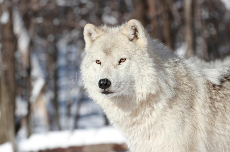 White Wolf foto de archivo libre de regalías