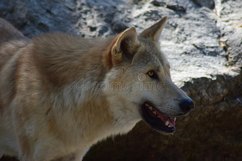 White Wolf. The Arctic wolf Canis lupus arctos, also known as the white wolf or polar wolf, is a subspecies of gray wolf native to the Queen Elizabeth Islands royalty free stock images
