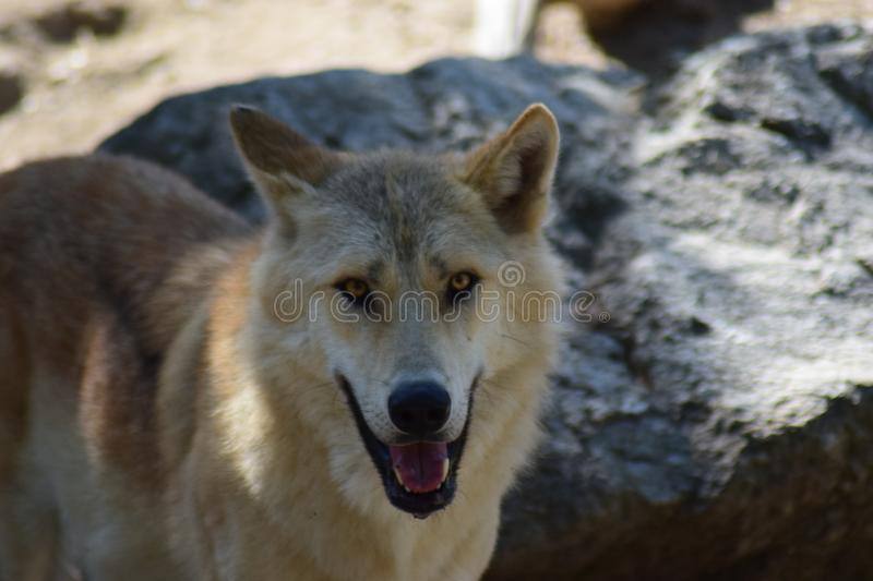 White Wolf. The Arctic wolf Canis lupus arctos, also known as the white wolf or polar wolf, is a subspecies of gray wolf native to the Queen Elizabeth Islands stock photos