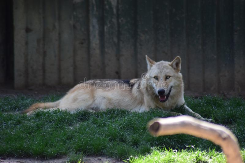 White Wolf. The Arctic wolf Canis lupus arctos, also known as the white wolf or polar wolf, is a subspecies of gray wolf native to the Queen Elizabeth Islands royalty free stock photography