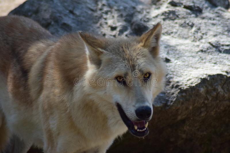 White Wolf. The Arctic wolf Canis lupus arctos, also known as the white wolf or polar wolf, is a subspecies of gray wolf native to the Queen Elizabeth Islands stock image