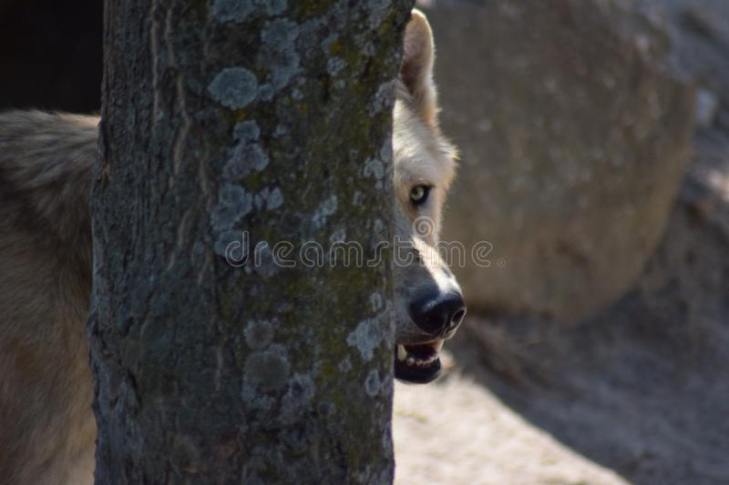 White Wolf. The Arctic wolf Canis lupus arctos, also known as the white wolf or polar wolf, is a subspecies of gray wolf native to the Queen Elizabeth Islands stock photography