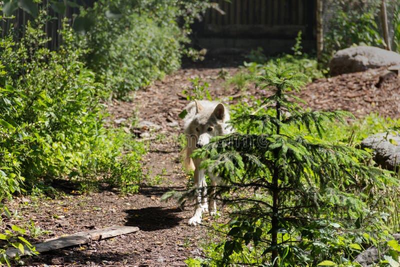 white wolf came to the edge stock photo