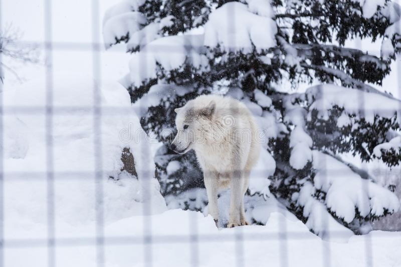 White wolf dog standing in snow in his cage at a zoo in Hokkaido stock image