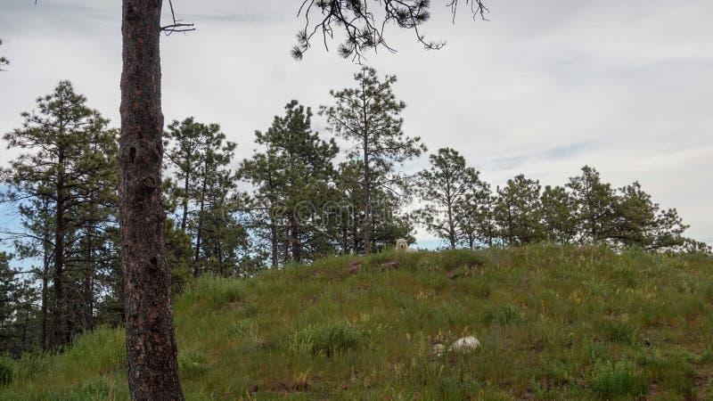 White Wolf en el bosque imagen de archivo libre de regalías