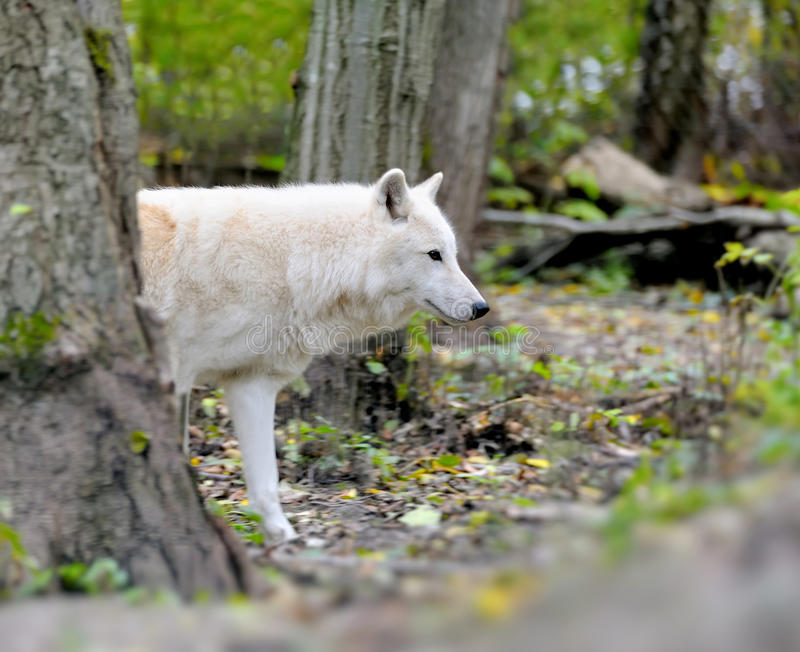 White wolf in forest stock photography