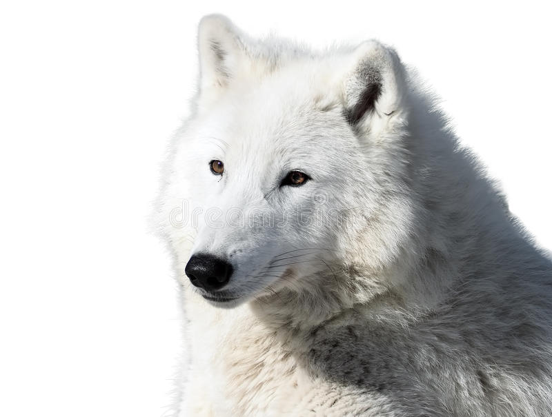 White wolf laying close-up isolated at white. The White wolf laying close-up isolated at white royalty free stock photo