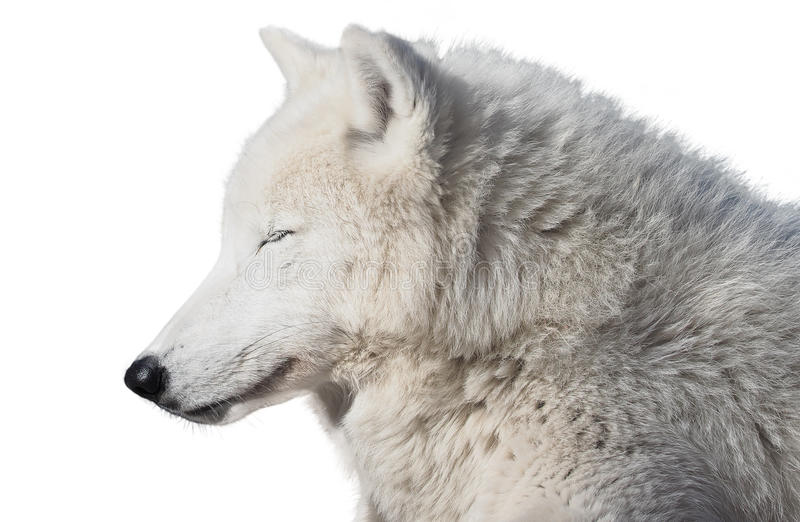 White wolf sleeping isolated at white. The White wolf sleeping isolated at white stock photos