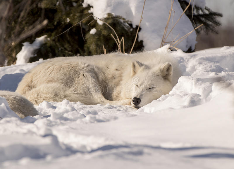 White Wolf Sleeping in Snow stock images