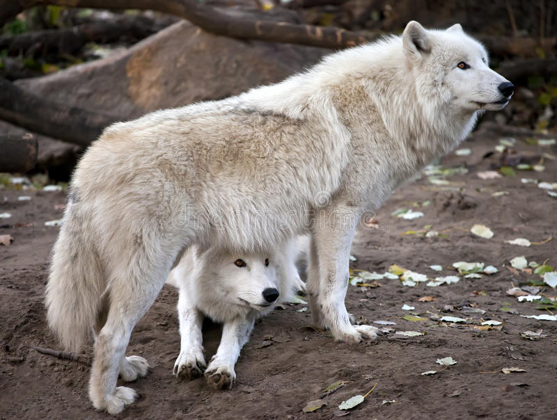 White wolves couple royalty free stock image