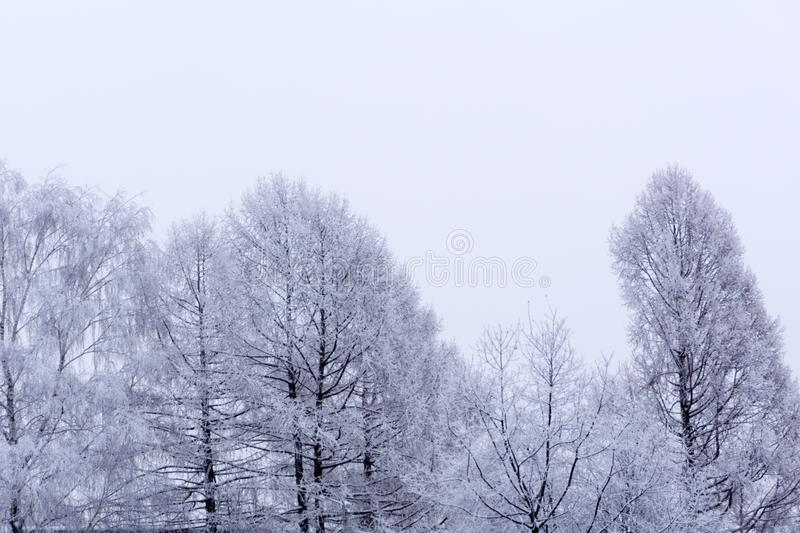 White wood covered with frost frosty landscape . White wood covered with frost frosty landscape stock photography