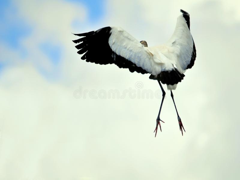 White Wood stork bird in flight in wetlands. A white Wood Stork flying over the water in Wakodahatchee Wetlands, Delray Beach, South Florida stock image