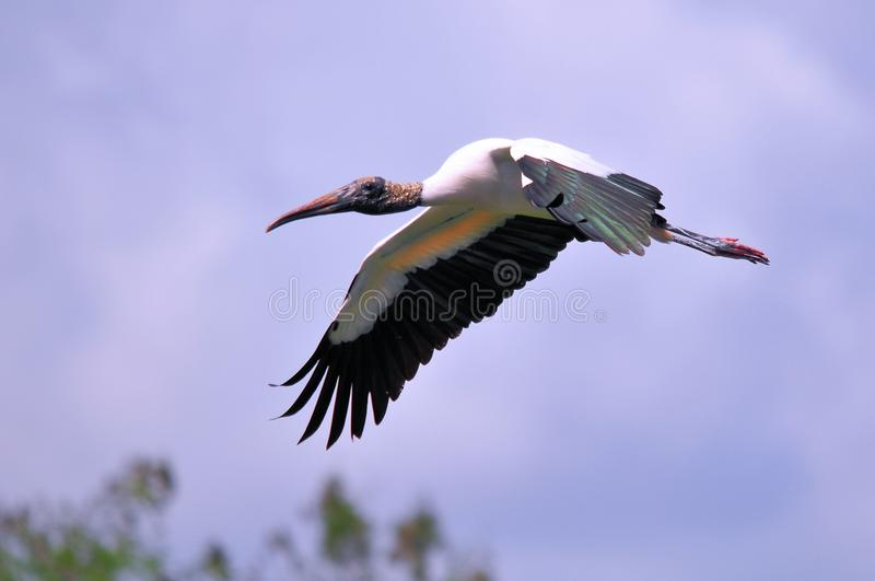 White Wood stork bird flying over the water. A white Wood Stork bird in flight in Wakodahatchee Wetlands, Delray Beach, South Florida stock image