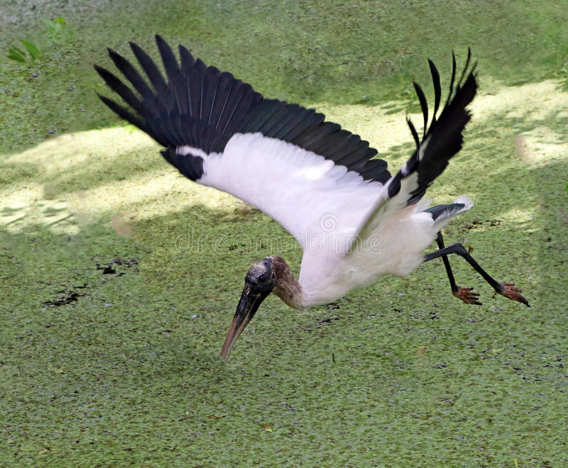 White Wood Stork. Looking for fish in plant-clogged water in Lettuce Lake Park In Tampa, Florida royalty free stock photo