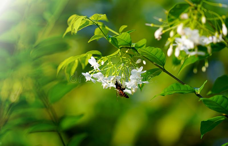 White wrightia religiosa flower tree with bee and green leaves. royalty free stock photo
