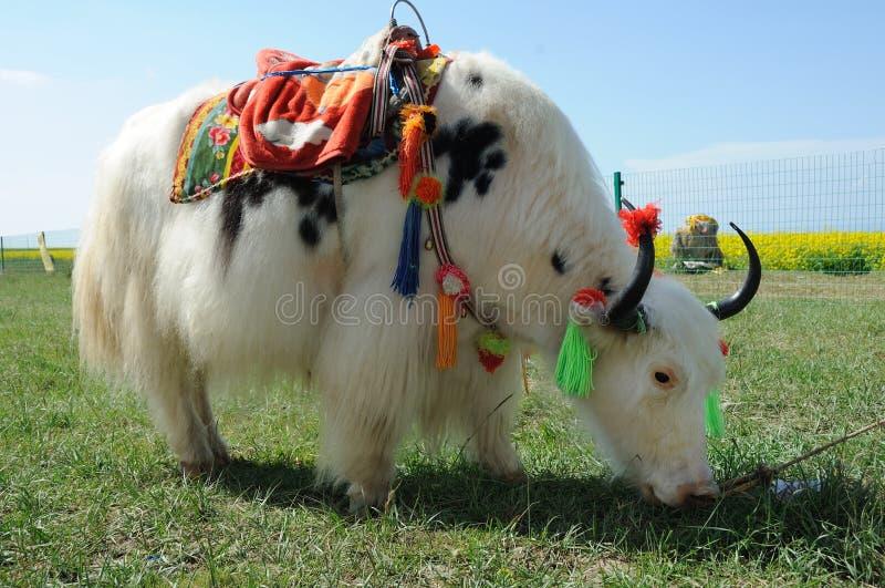 White yak stock image