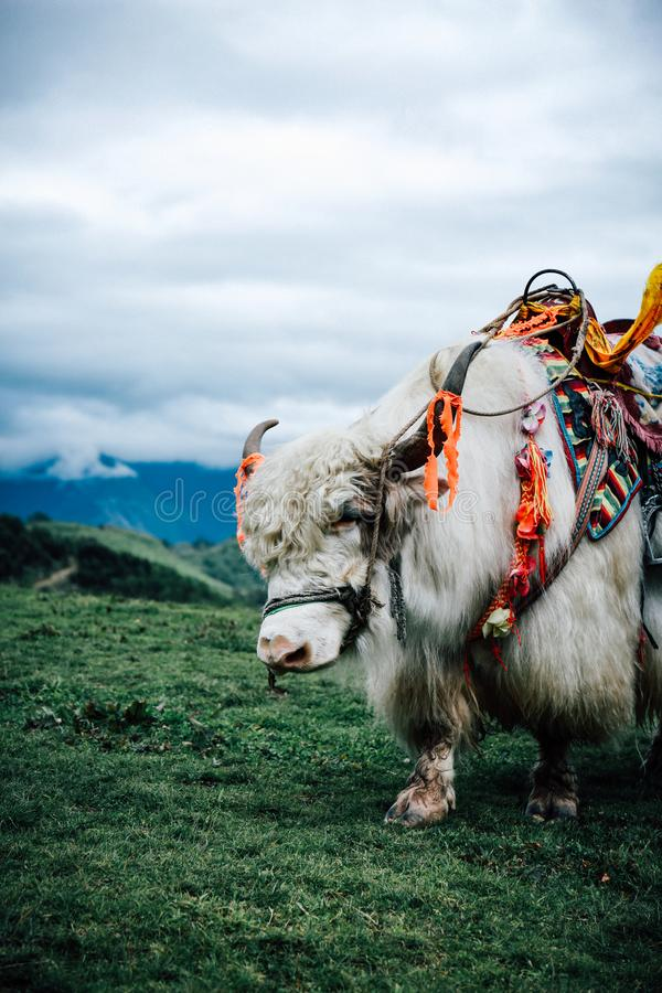 White yak stock photography