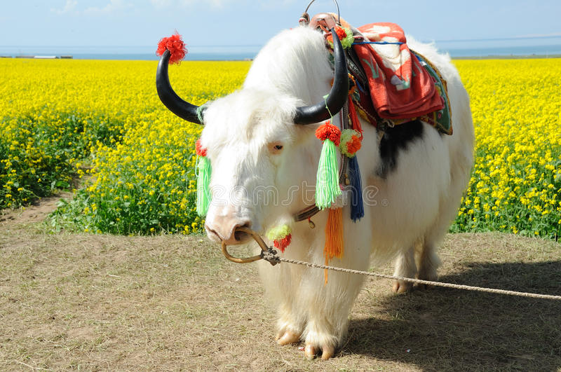 White yak in the seed field royalty free stock photography