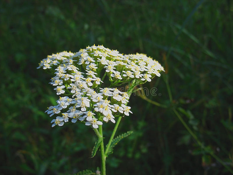 White yarrow flower on background of green outdoors royalty free stock image