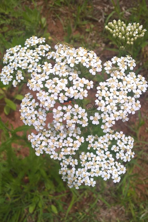 White Yarrow Flower stock images
