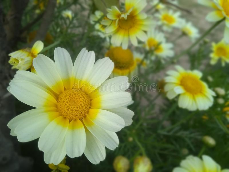 White and yellow beautiful flowers in park royalty free stock images
